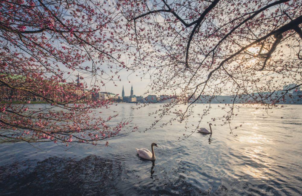 Schwäne zur Kirschblüte auf der Binnenalster in Hamburg. Foto: Kerstin Bittner