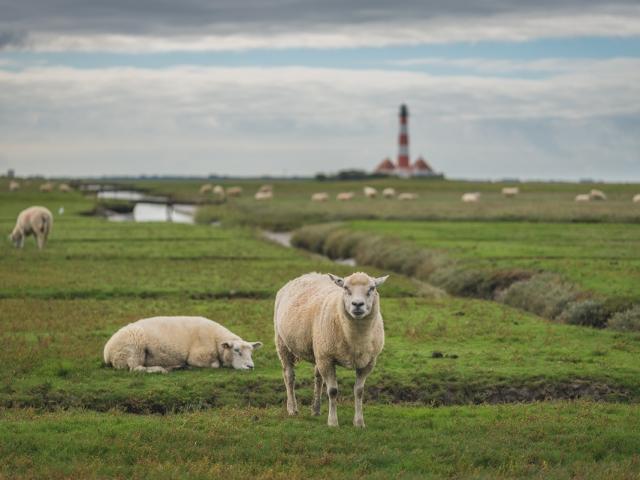 Schafe vor dem Westerhever Leuchtturm. Foto: Kerstin Bittner