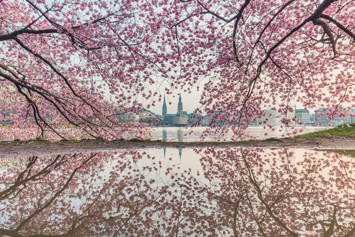 Binnenalster in Hamburg mit Kirchblüte. Foto: Kerstin Bittner