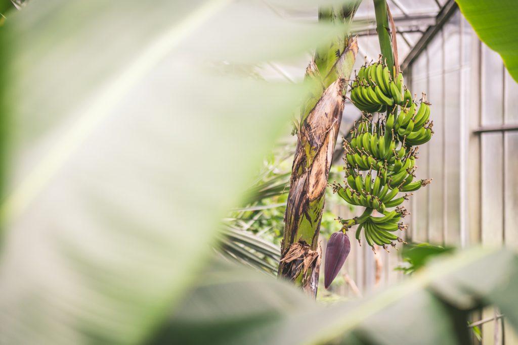 Bananenpflanze in den Tropengewächshäusern der Universität Hamburg im Park Planten und Blomen. Foto: Kerstin Bittner