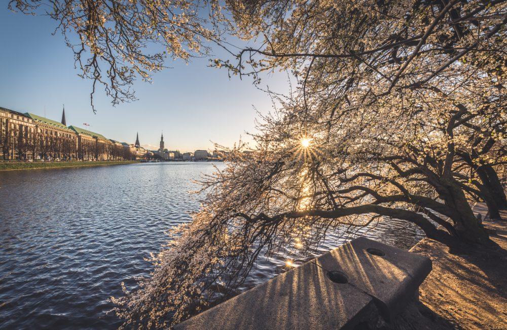 Frühjahrsblüte zum Sonnenuntergang an der Binnenalster in Hamburg. Foto: Kerstin Bittner