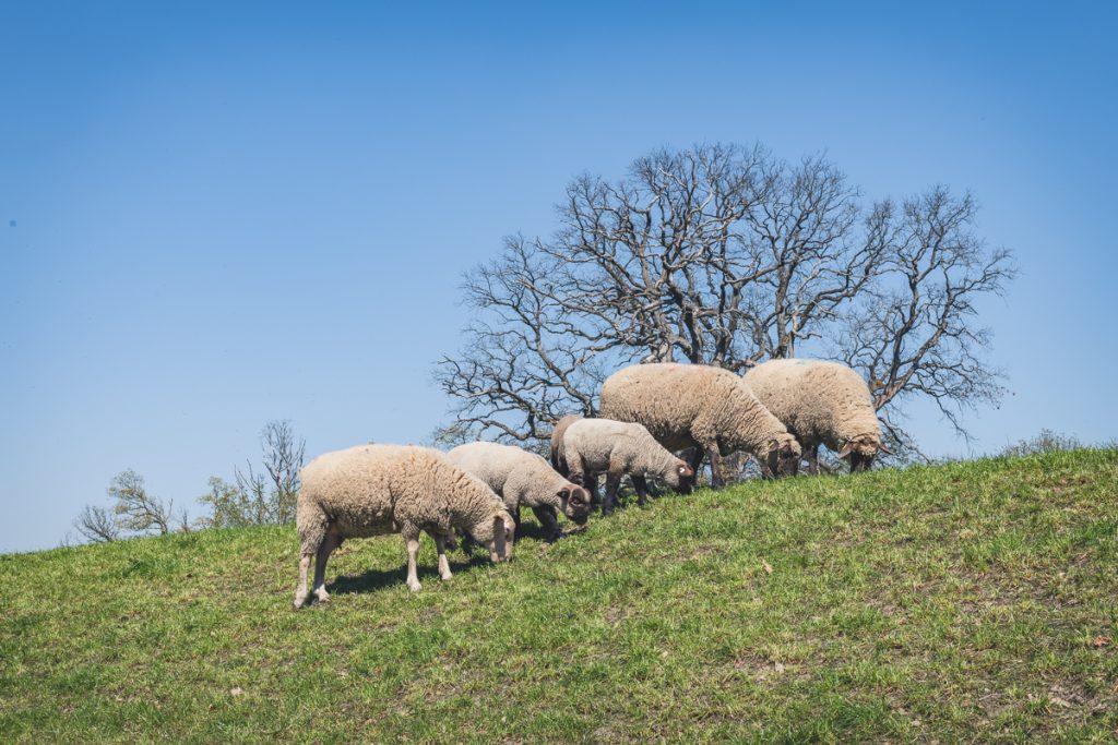 Schafe auf dem Deich am Elberadweg. Foto: Kerstin Bittner