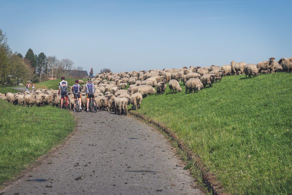 Schafherde auf dem Elberadweg. Foto: Kerstin Bittner