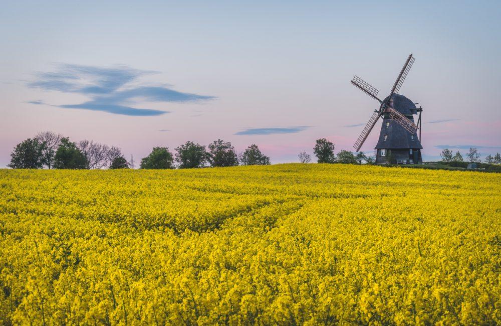 Die Mühle in Farve bei Oldenburg in Holstein zur Abendstimmung im Rapsfeld. Foto: Kerstin Bittner
