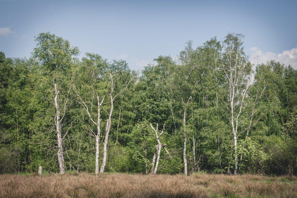 Birken im Naturschutzgebiet Wittmoor. Foto: Kerstin Bittner