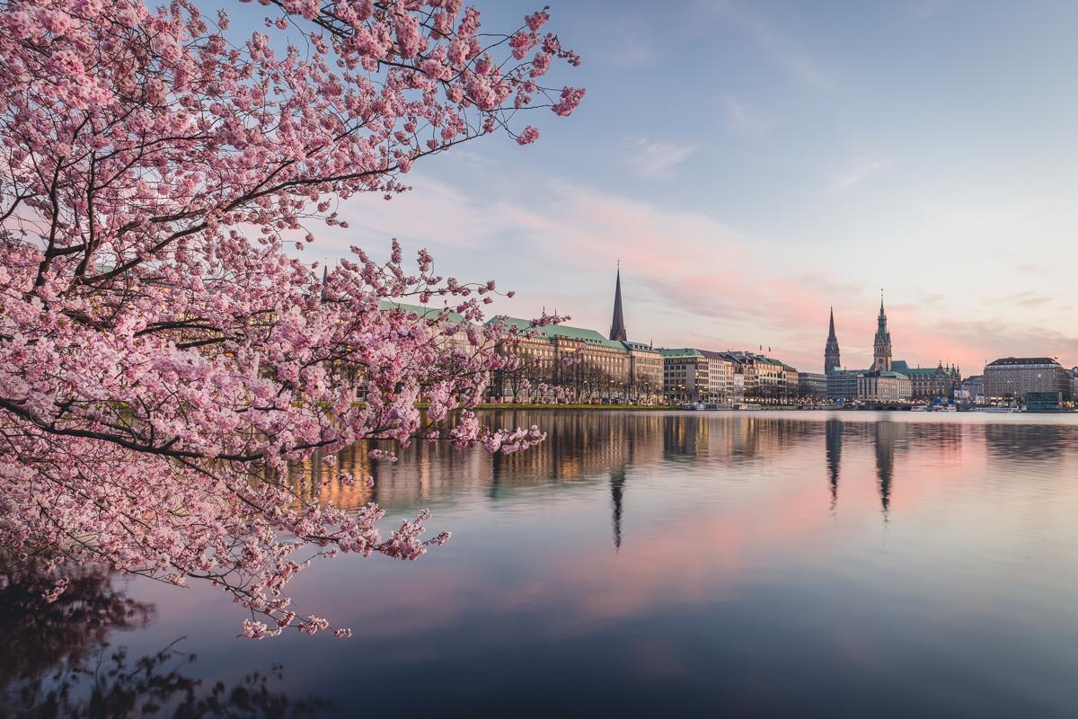 Kirschblüte an der Hamburger Binnenalster. Foto: Kerstin Bittner