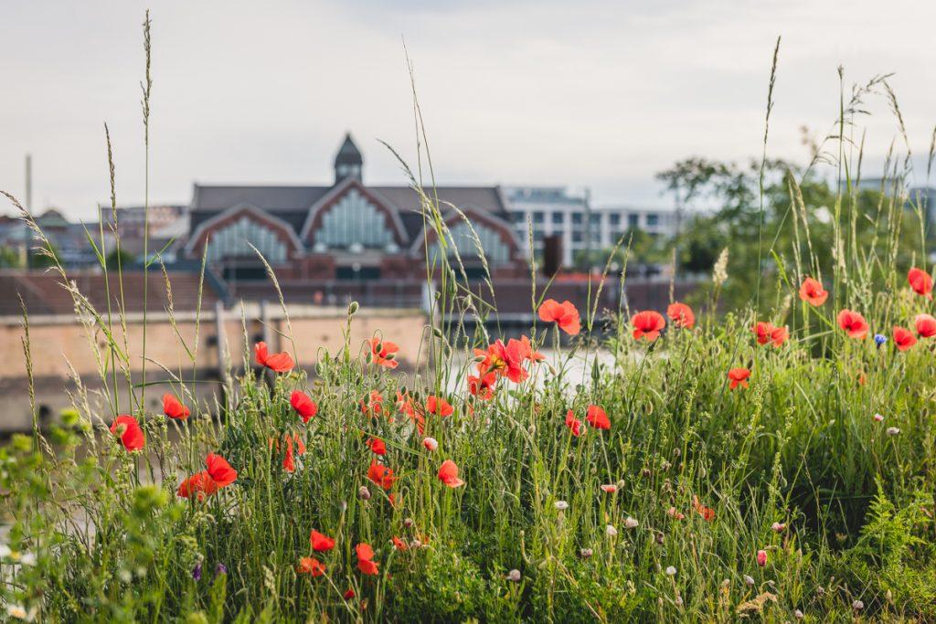 Mohnblüte in Hamburg. Im Hintergrund die Deichtorhallen mit dem Haus der Photographie. Foto: Kerstin Bittner